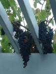 Grapes hanging through the arbor