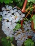 Checking the grapes at night