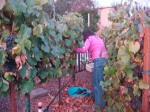 Lynda Harvesting the Grapes