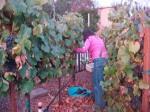 Lynda Harvesting the Grapes