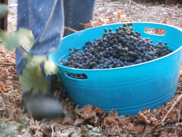 My first basket of 2010 grapes