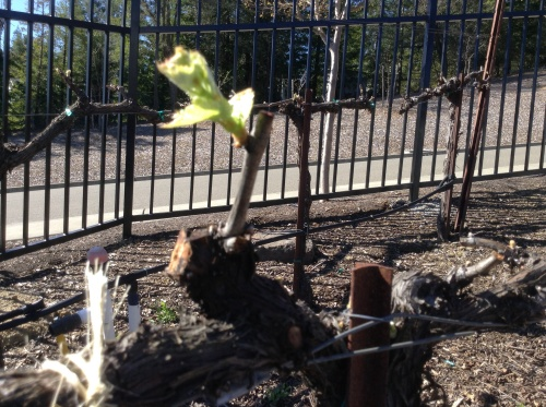Bud Break 2014!